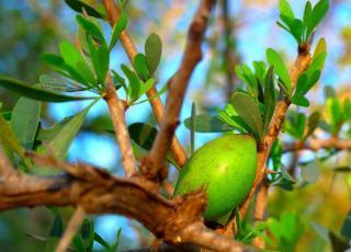 Argan plante arbre