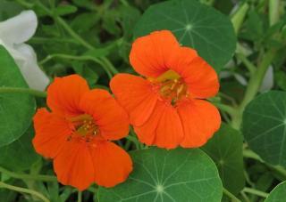 Capucine fleur