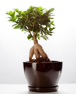 Ficus Ginseng culture conseils