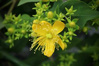 Millepertuis Hypericum variete