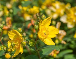 Millpertuis plante arbuste
