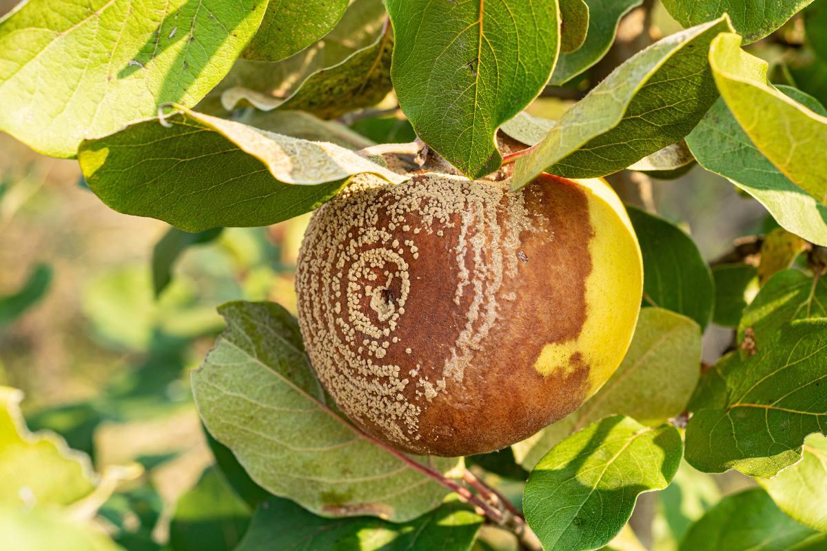 Monilia Monilinia - fruit qui pourrit sur arbre