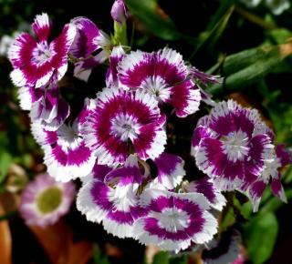Oeillet fleur