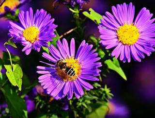abeille sur un aster en fleur
