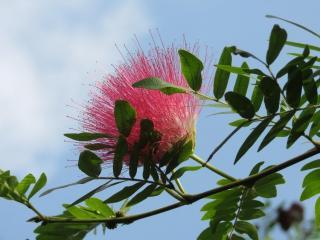 albizia en fleur