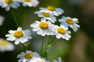 bienfaits migraine fleur Partenelle - Grande Camomille