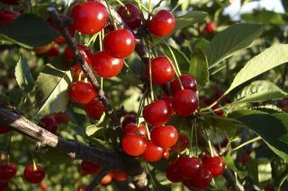 cerisier plantation
