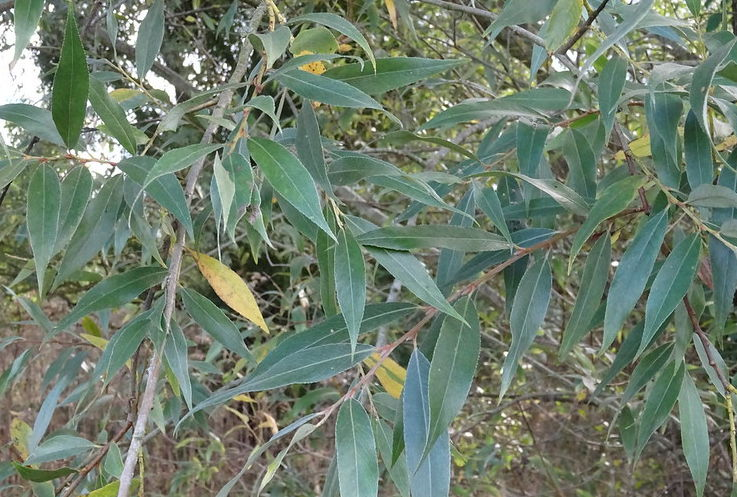 White willow bark: health benefits and virtues