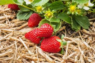 entretien fraisier