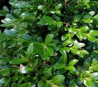 feuilles de buis
