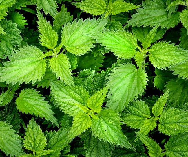 plantes hyperthyroidie