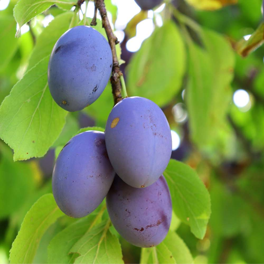 Summer care for fruit trees