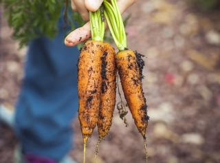 recolte des carottes