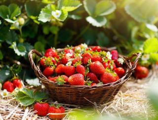 recolte des fraises