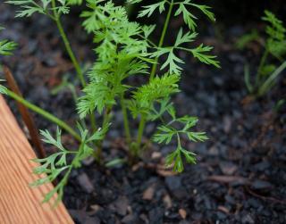 semis de carotte
