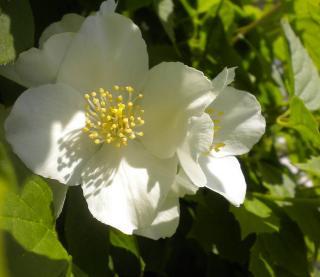 seringat en fleur