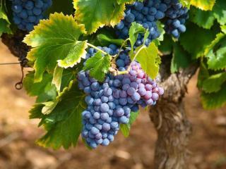 vigne plantation