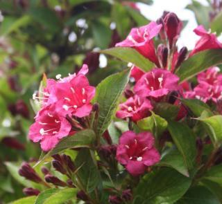 weigelia en fleur