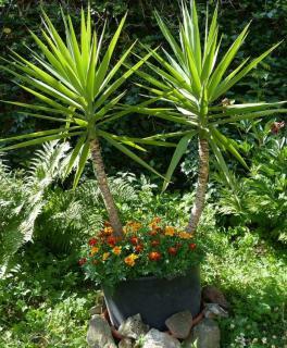 yucca en pot en exterieur
