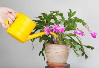 Arrosage - Schlumbergera - Cactus de Noel