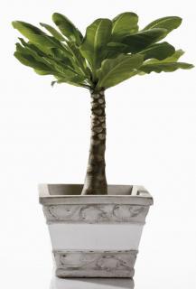 Brighamia insignis - Palmier hawaien