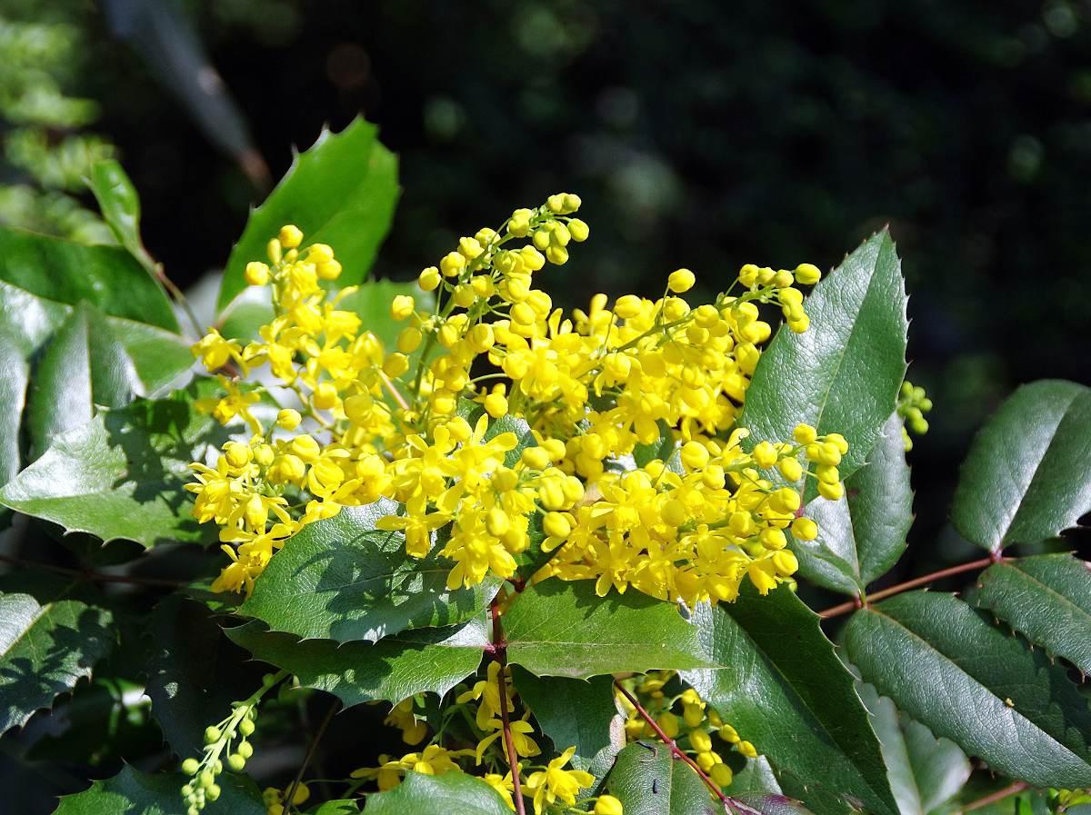 Mahonia arbuste