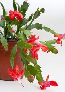 Schlumbergera - Cactus de Noel