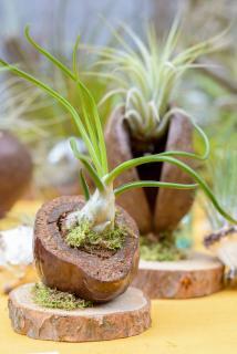 Tillandsia - fille de l'air - plante
