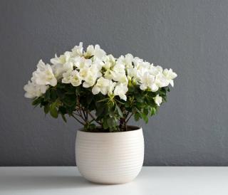 azalee en fleur