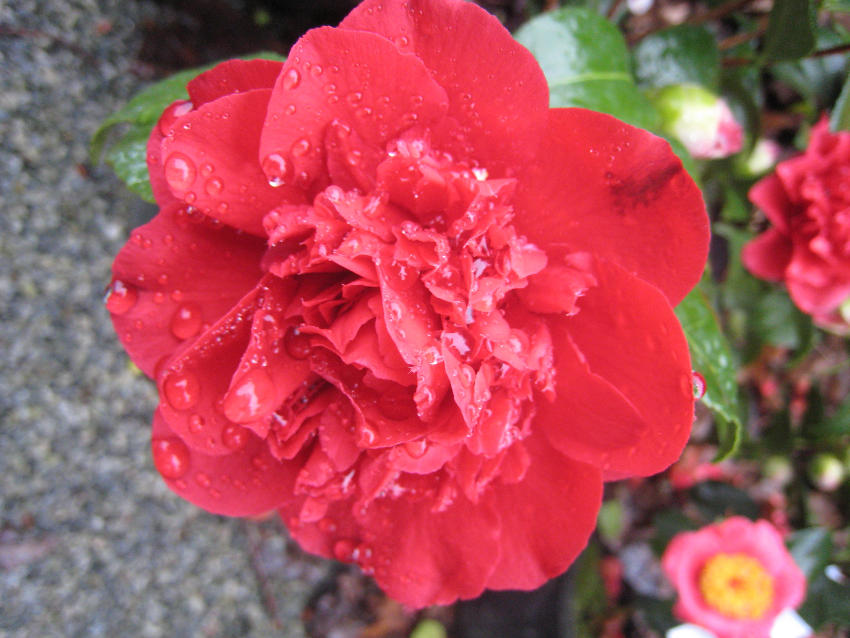 camelia tourbillon rouge