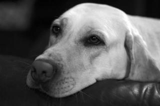 depression chien depressif