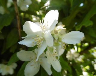 fleur oranger du mexique