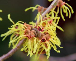 floraison hamamelis