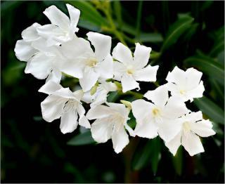 laurier rose blanc - fleurs blanches - Nerium Oleander