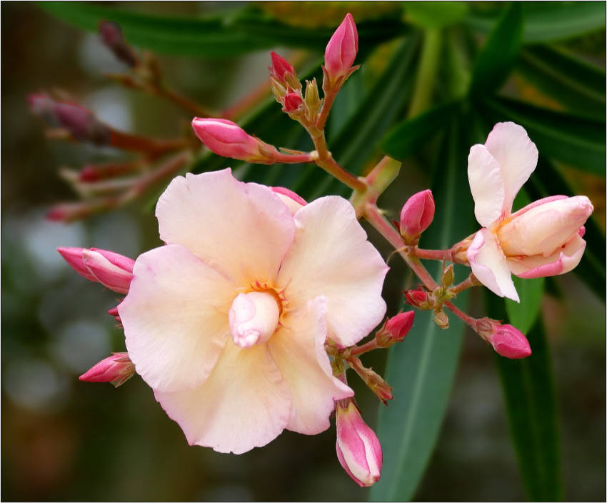 Laurier Rose Plantation Taille Et Conseils D Entretien