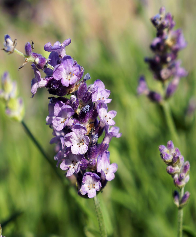 Lavandula latifolia, the broad-leaved lavender