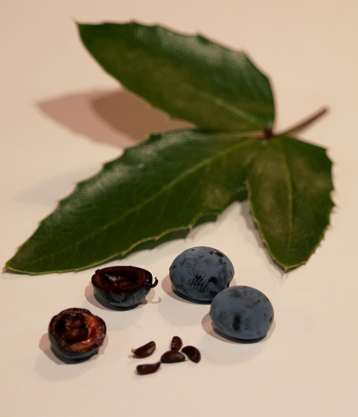 Mahonia berry – sweet & tart, best after freezing!