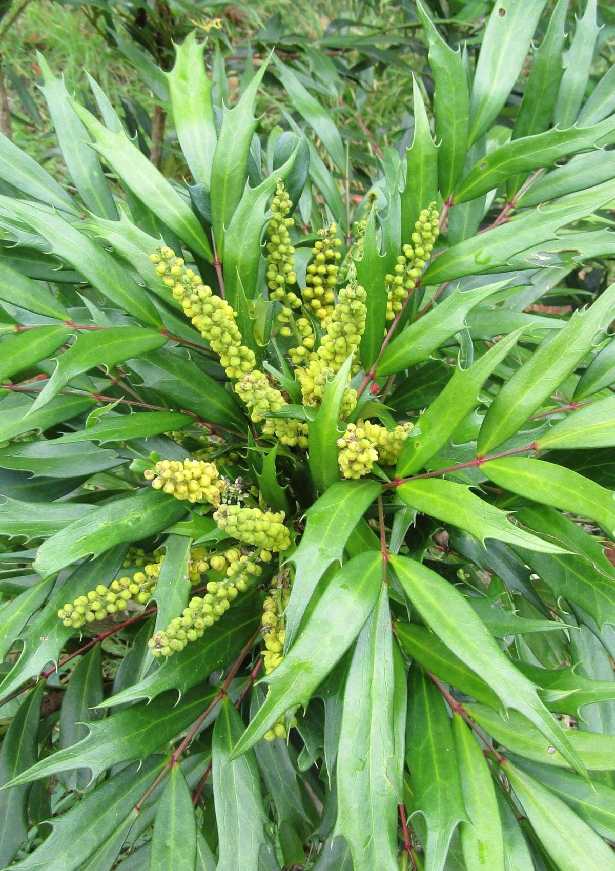 Mahonia eurybracteata, a yellow-blooming shrub for fall