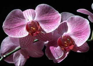 orchidee floraison