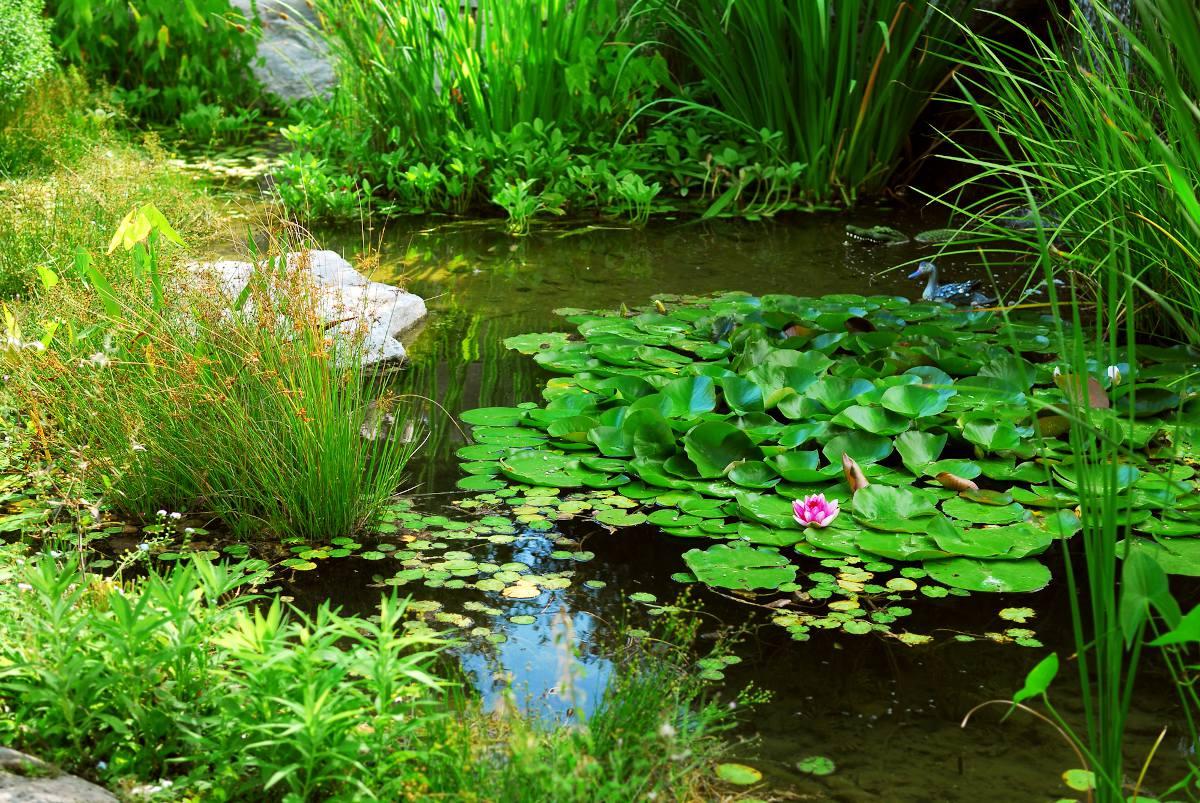 plante pour bassin mare