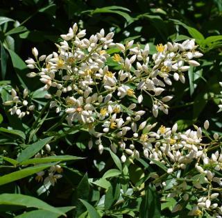 Bambou Nandina