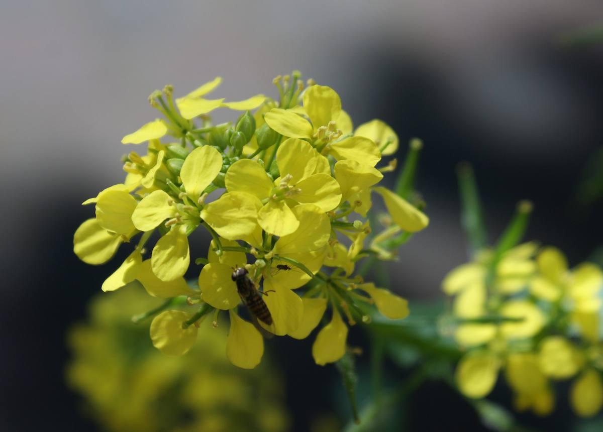 Moutarde plante graine bienfaits