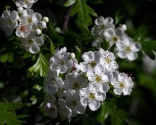 fleurs aubepine recolte