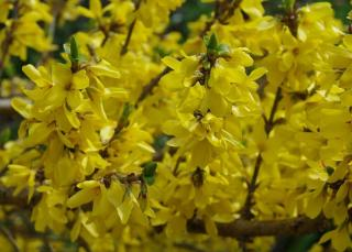 forsythia en fleur