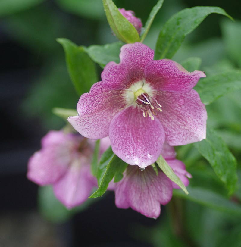 Hell bore rose de no l plantation et conseils d 39 entretien - Rose de noel en pot ...