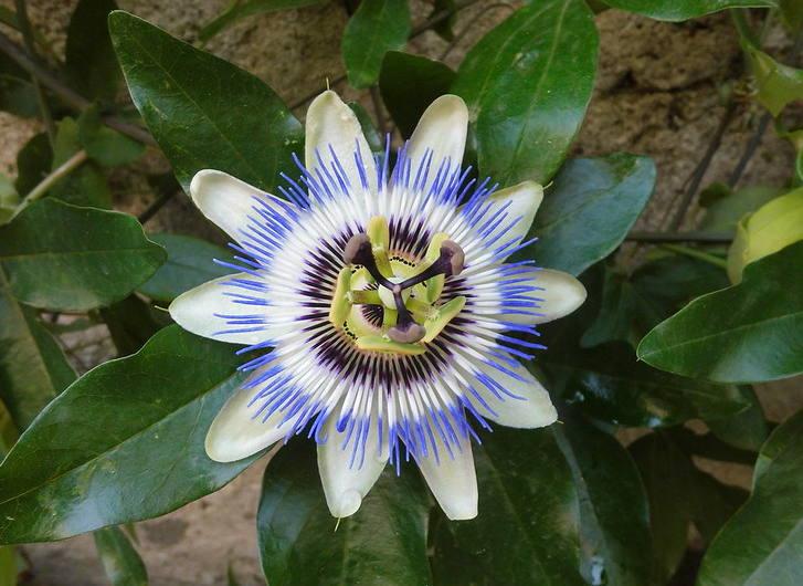 25 graines-Violet Passion Flower-Fleur de la passion Passiflora incarnata