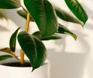 Caoutchouc - Ficus elastica - plante