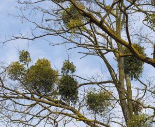 Gui arbre plante
