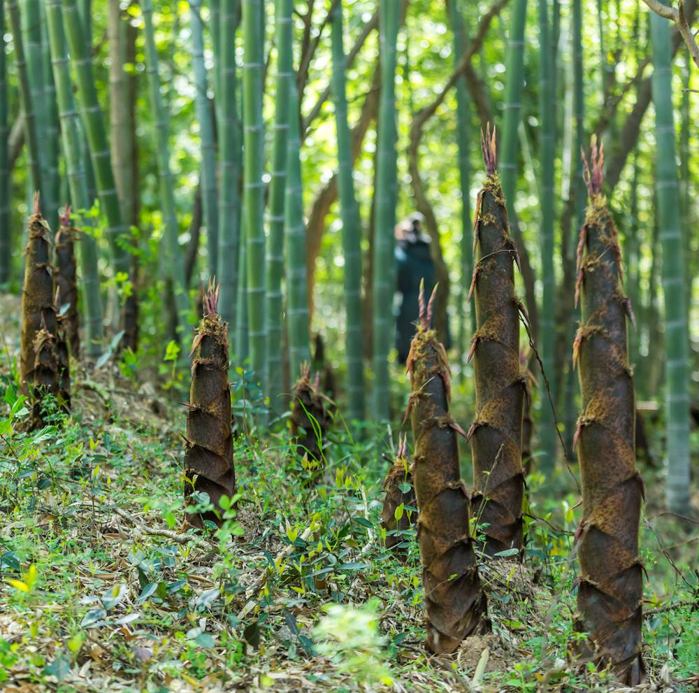 bambou envahissant