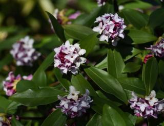 daphne hiver plante